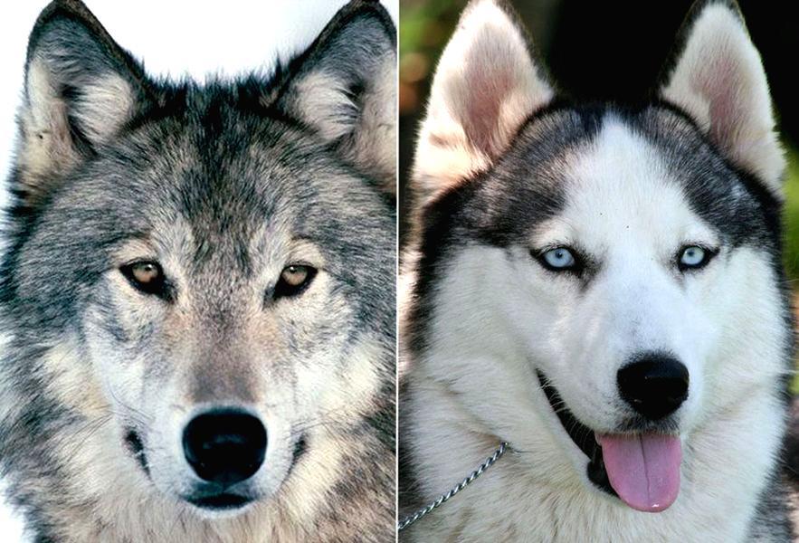 Siberian Husky Vs Wolf Hybrid | www.pixshark.com - Images ...