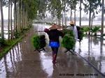 Planting of rice