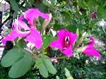 Bauhinia Blossoms