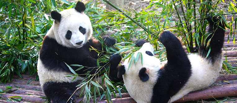 See the adorable pandas and learn about their habits