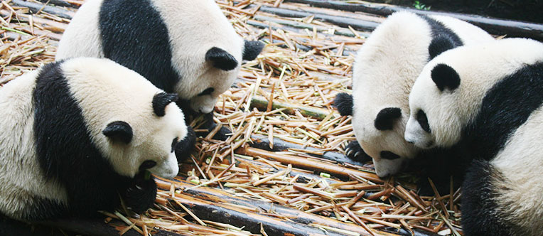Have a close contact with the cute pandas