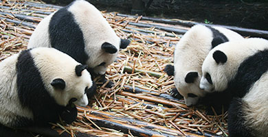 Pandas of Chengdu