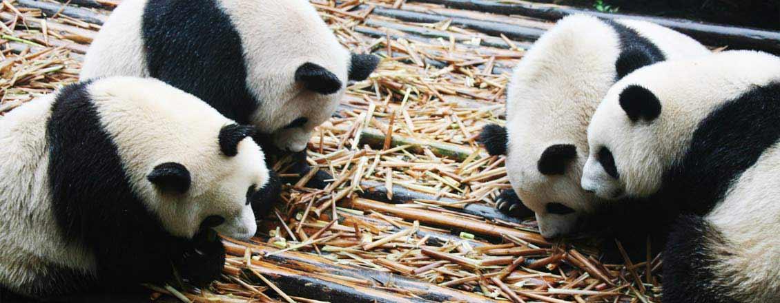 Cute Pandas, Chengdu
