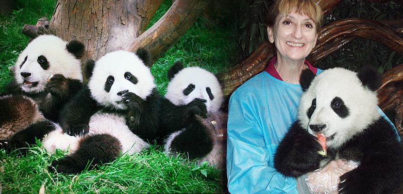 China Panda Tours Volunteer Amp Keeper Program