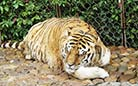 A tiger is leisurely taking a nap in the zoo.