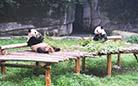 The pandas are living a comfortable life in the zoo.