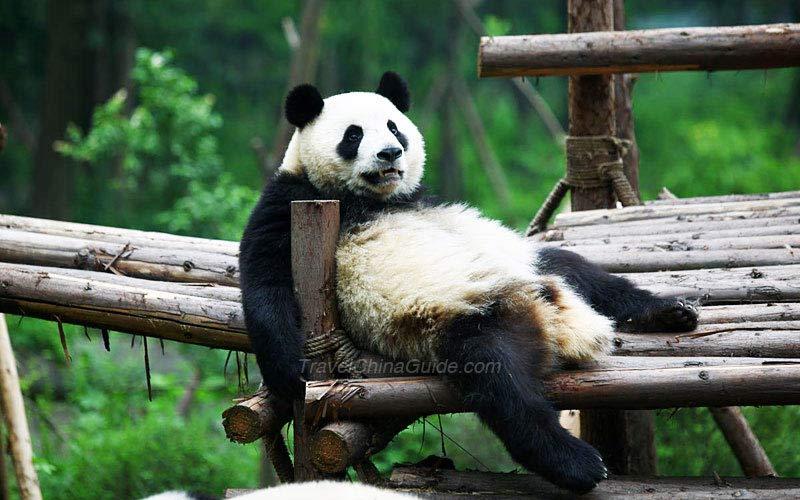 Chinese Panda Pictures  Sichuan Giant Panda  TravelChinaGuide com
