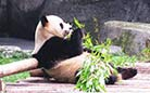 Bamboos are pandas' favorite food.