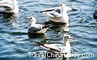 The paddling common black-headed gulls, Cuihu Lake, Kunming