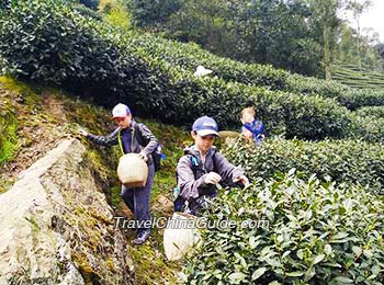 Our clients picking tea leaves in the Tea Village, Hangzhou
