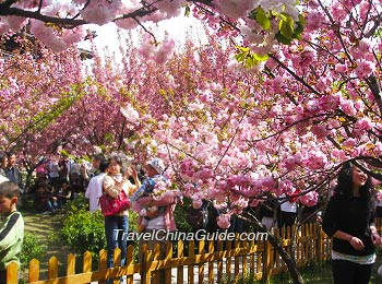 Cherry Blossom in Qinglong Temple, Xi'an