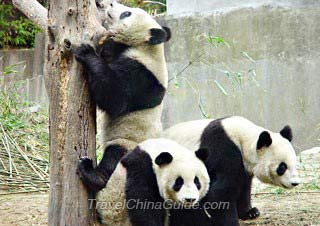 Giant Pandas in Wolong National Nature Reserve