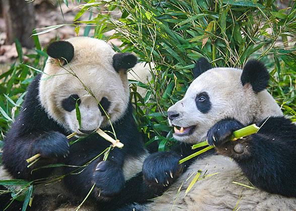 Lovely pandas eat the bamboo