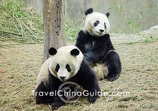 Two lovely pandas