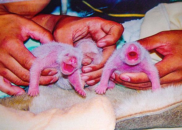 Newly Born Pandas