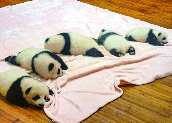 6-Month Panda Cubs