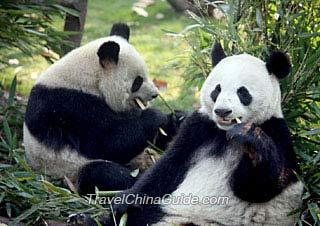 Two pandas munching on bamboos