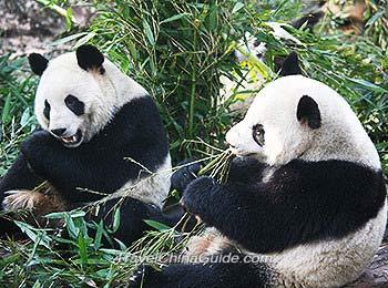 Pandas munching on bamboos