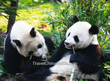 Giant pandas munching on bamboos