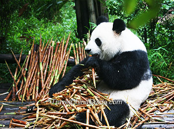 Giant panda munching on bamboos