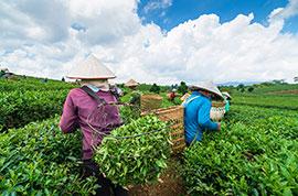 Meijiawu Tea Plantation, Hangzhou
