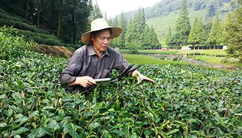 Tea Plantation, Hangzhou