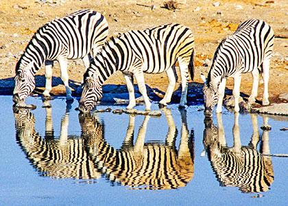 Wild zebras in South Africa
