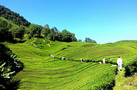 Tea Garden in Cameron Highlands