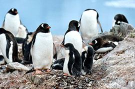 Argentina Penguins