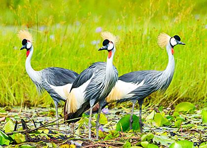 Water Birds in Uganda