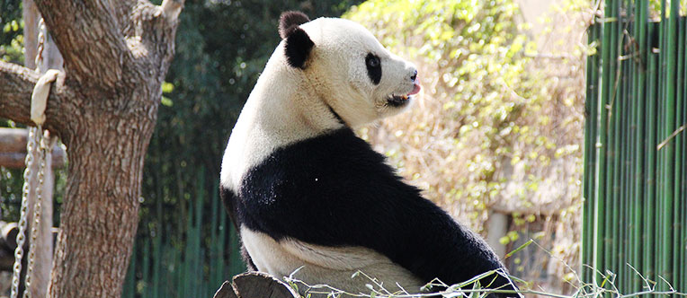 See the adorable pandas up close and learn about their habits