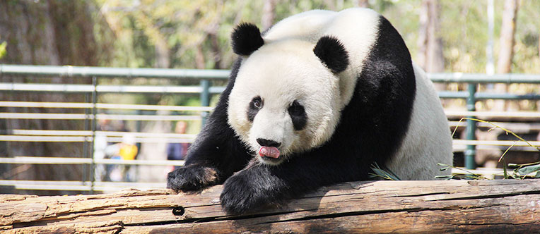 Have a close contact with the cute Giant Panda