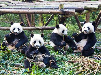Adorable giant pandas