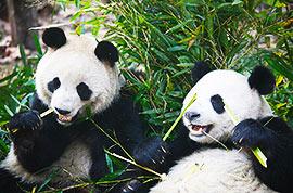 Giant Pandas, Chengdu