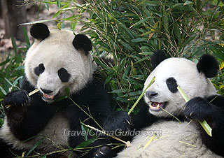 Pandas munching on bamboos