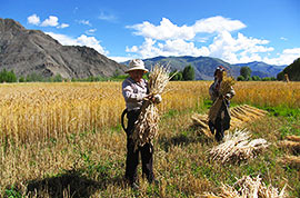 Harvest season in Tibet